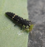 Ladybird larva eating aphids
